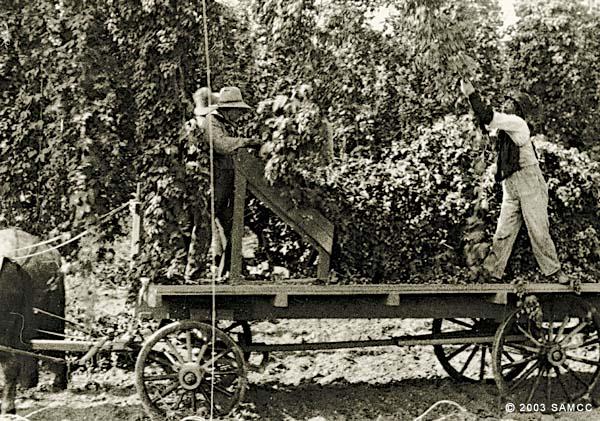 Workers harvesting hops