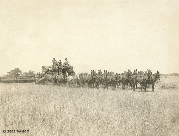 Mules and harvester, Wiseman family ranch