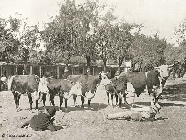 Prize cattle California State Fair, Sept. 1894