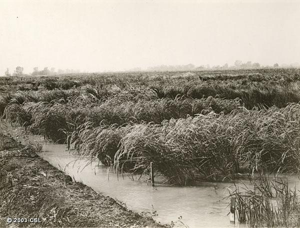 Rice fields, near Biggs