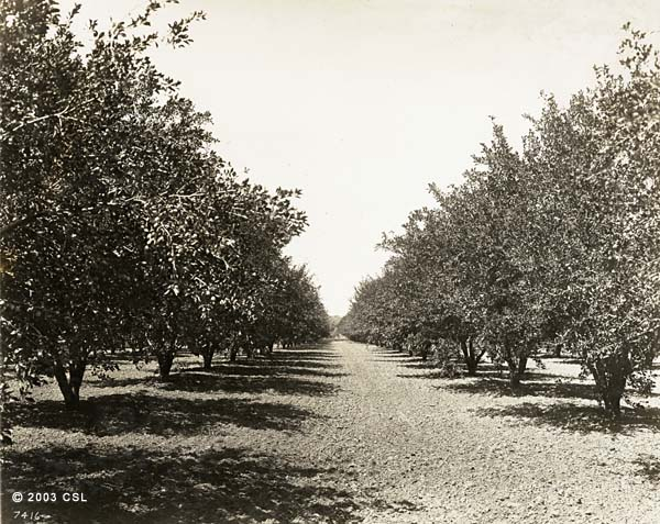 Ione Valley orchard scene