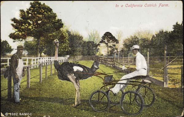 In a California ostrich farm : postcard